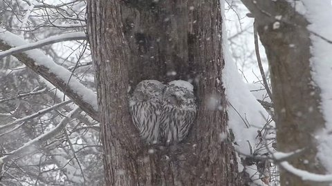 Owl of wind and snow. _2 / November 15, 2014 in Japan of the shooting in Hokkaido / How a couple of owl has endured to get along wind and snow in the sinus. Harsh winter in this land visited.