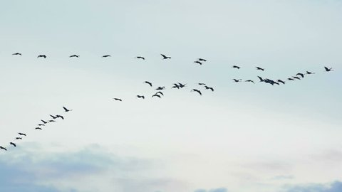 Group of migrating Common Cranes or Eurasian Cranes (Grus Grus) bird flying high up in the air during an Autumn sunset.