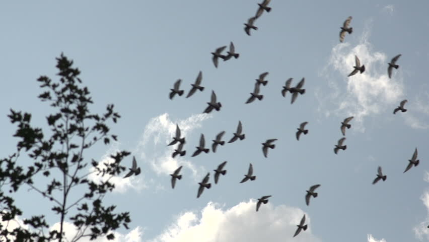 A slow motion shot of a flock of birds flying across camera.   Shutterstock HD Video #7971166
