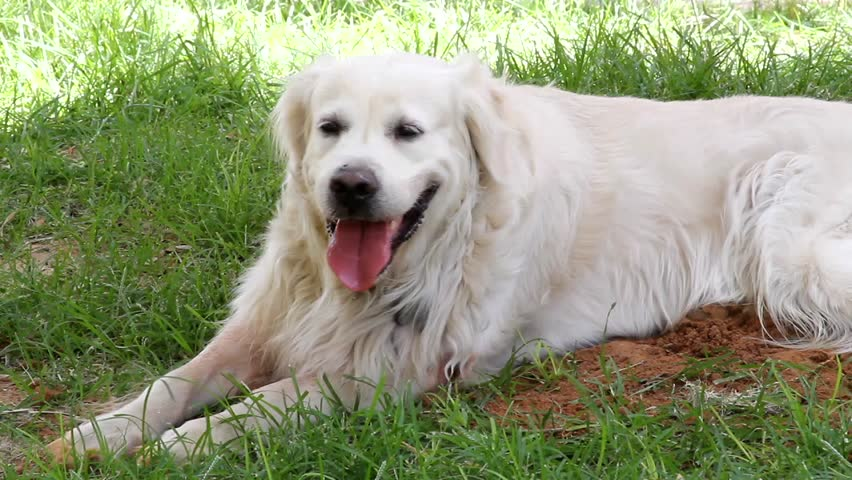 Video Stock A Tema White Golden Retriever Playing At 100 Royalty Free 797494 Shutterstock