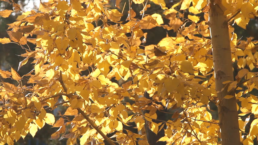 Autumn painted tree with it's leaves glowing | Shutterstock HD Video #7976314