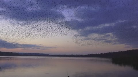 murmuration flock of starlings on lake at sun down nature background - Aqualate Mere, Staffordshire, England: November 2014