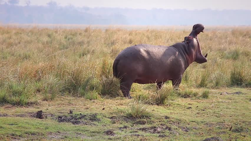 A Hippopotamus (Hippopotamus amphibius) stands on land and opens mouth to yawn widely in Chobe River, Botswana, Africa. These are the most dangerous & territorial animals in Africa!