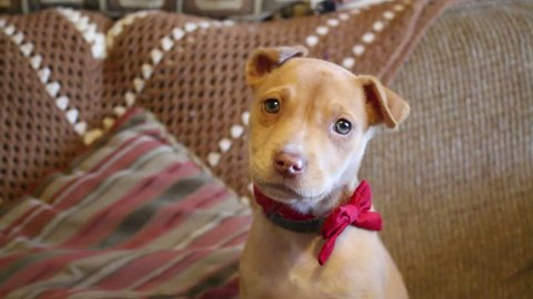 A cute pit bull mix puppy with a red bow barks at the camera