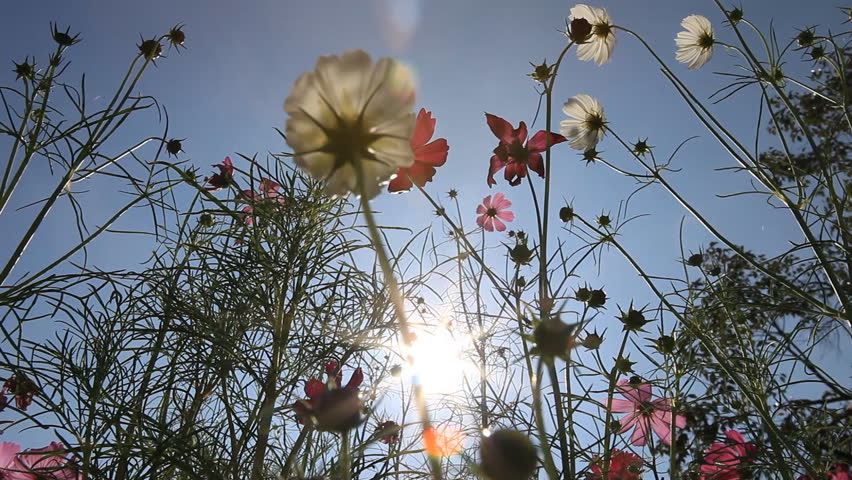 pink, white and purple cosmos flowers facing to the sun in the garden, dolly scene from the ground to blue sky background. The sunlight is shining through flower and calyx #8042446