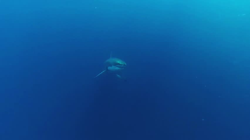 Great White Shark in deep ocean patrolling own area. Slow motion