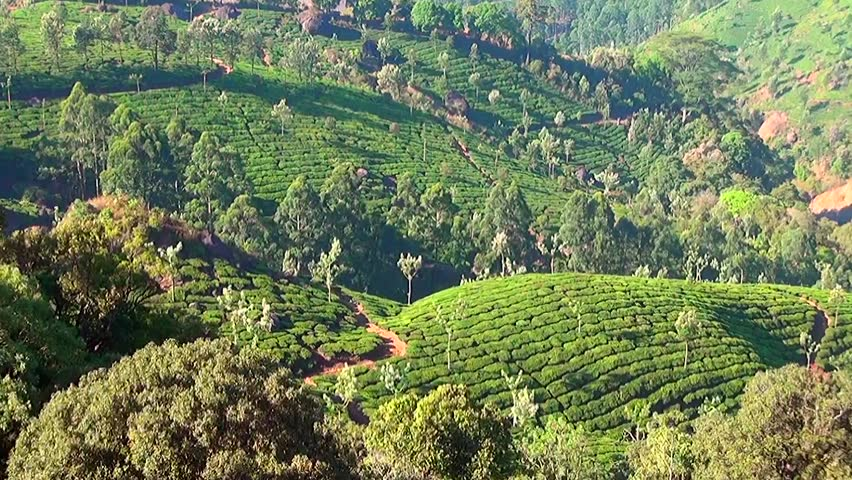 Mountain tea plantation in Munnar, Kerala, India
