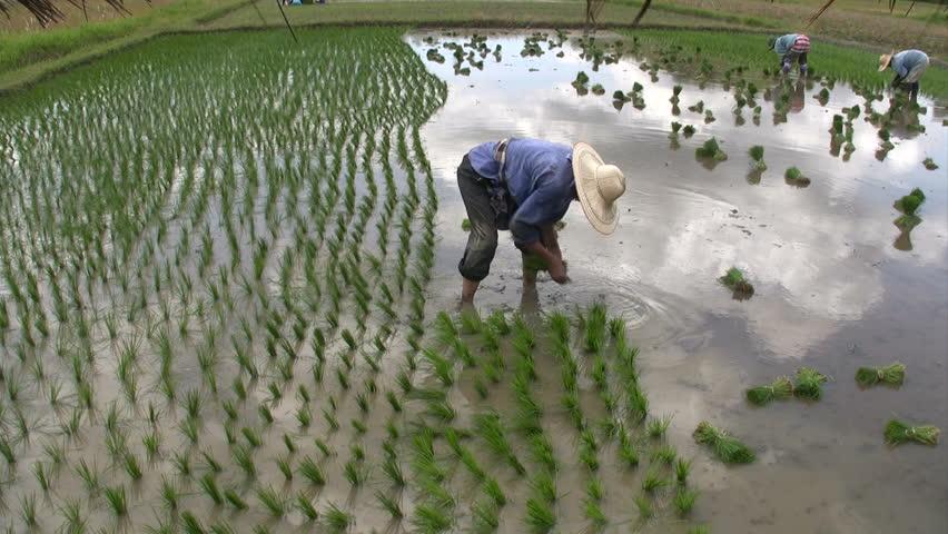 Planting Rice Paddies, Chaing Rai, Thailand.