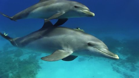 dolphin with calf approaching from the blue, red sea
