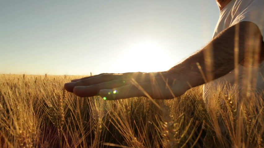 hands of farmer in wheat field gently touching wheat ears