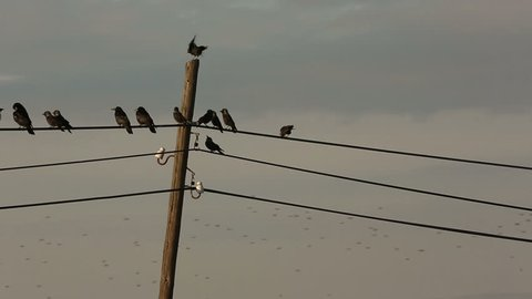 Crows gathering on telegraph cables and tree branches in Turkish rural area