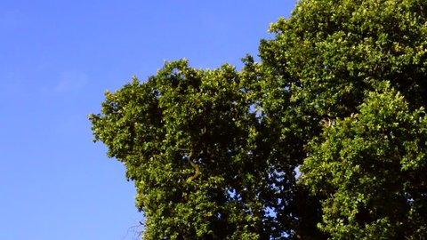 Tree Leaves Rustle in the Wind Against a Clear Blue Sky