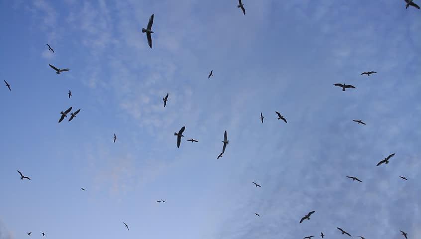 Flock of birds soaring high against the blue sky  | Shutterstock HD Video #8547664