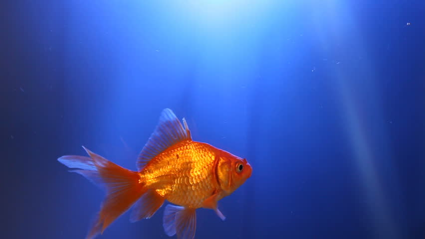 A goldfish swims across the frame in  beautiful blue water