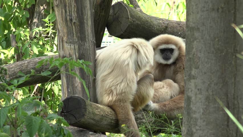 ULTRA HD 4K Cute gibbon couple relax sitting on tree branch, monkey animal in wildlife by day - 4K stock video clip