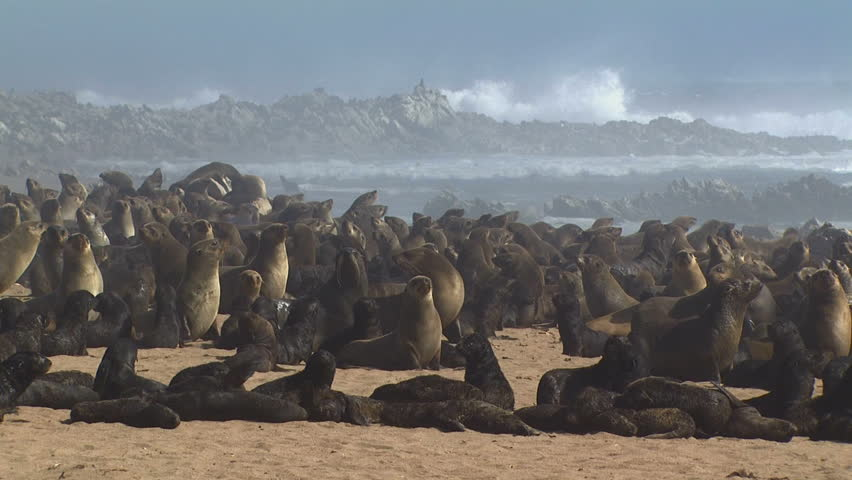 Seal families off the West Coast of Namaqualand South Africa