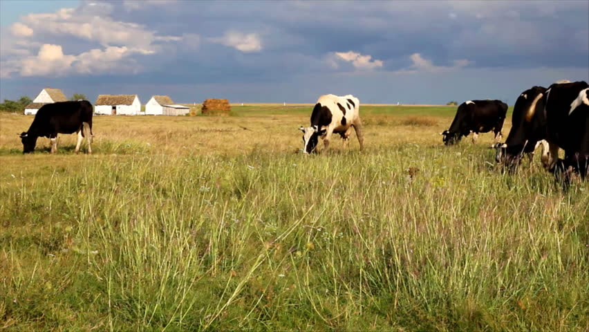 Cows grazing in a meadow near the road