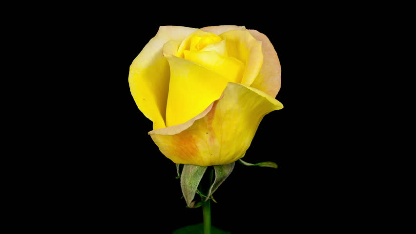 Yellow Roses With Black Background | www.pixshark.com ...