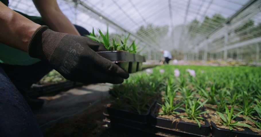 4K Hand reaching out to touch young plants in large greenhouse. Agriculture or science industry.