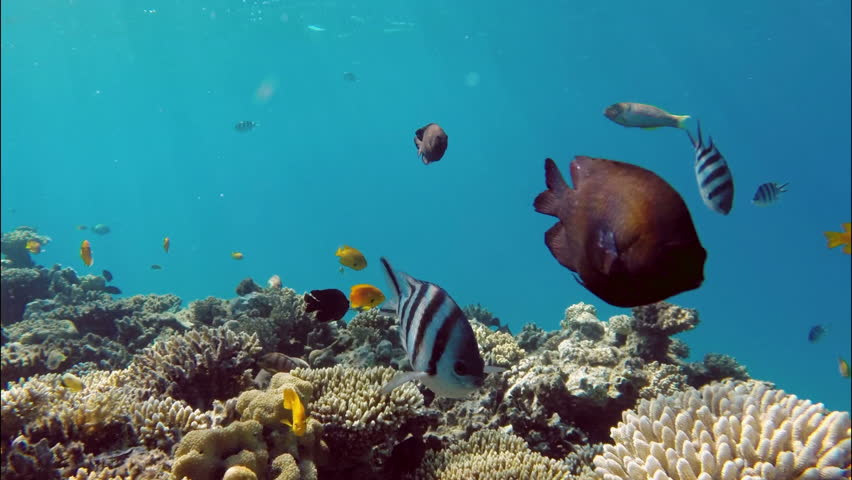 Many fish swim among corals in the Red Sea - Egypt   Shutterstock HD Video #8736934