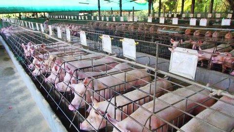 Pig farm with lots of pork. High quality footage - original size 4k (3840x2160)