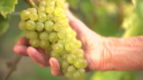 Grapes in the summer