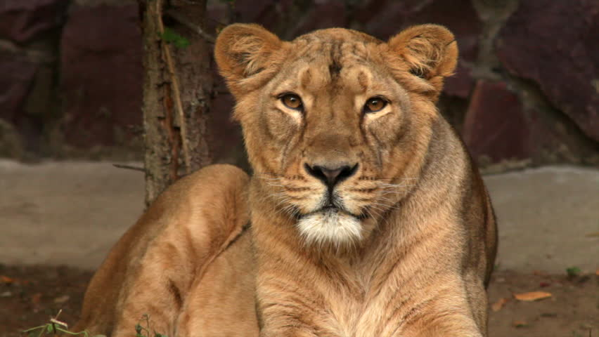 8k Animal Wallpaper Download: Adorable Head Of Lioness In Sunset Soft Light, Lying On