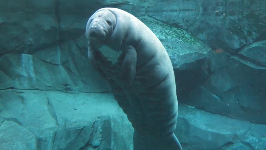 Header of manatee