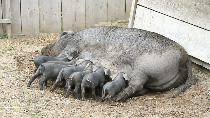 Young pigs eagerly eating on the mother sow as she lays on the ground. The piglets are fighting over her nipples for nourishment and food. Not yet weaned. Very large female pig sow. Farm.