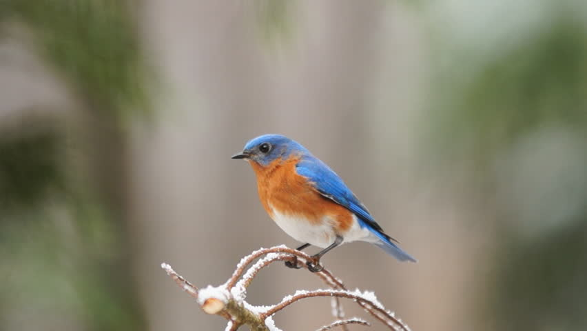 Eastern Bluebird (Sialia sialis) male during rare Georgia snowstorm, winter in Georgia. Slow motion, 1/2 natural speed. | Shutterstock HD Video #8966134