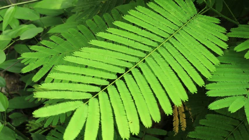 Acacia Leaves Stock Footage Video 100 Royalty Free 8967514