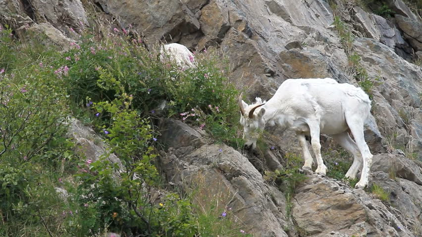 Dall sheep mother ewe on steep rocky mountain cliff and ledges near Anchorage Alaska. Along mountain in Turnagain Arm. Eating grass. Pure white wild sheep. Wildlife in the wild.