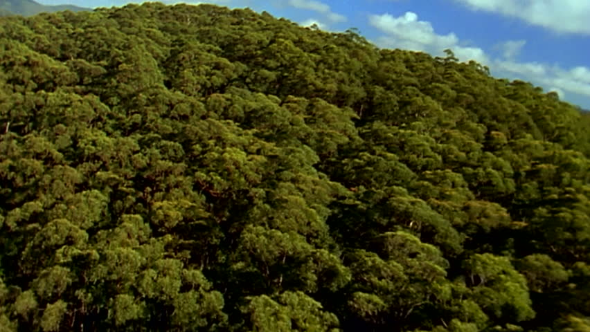 A sweeping aerial shot from a helicopter revealing over a hill an Australian gumtree forrest in Healesville Victoria, transferred from 16 mm film to HD