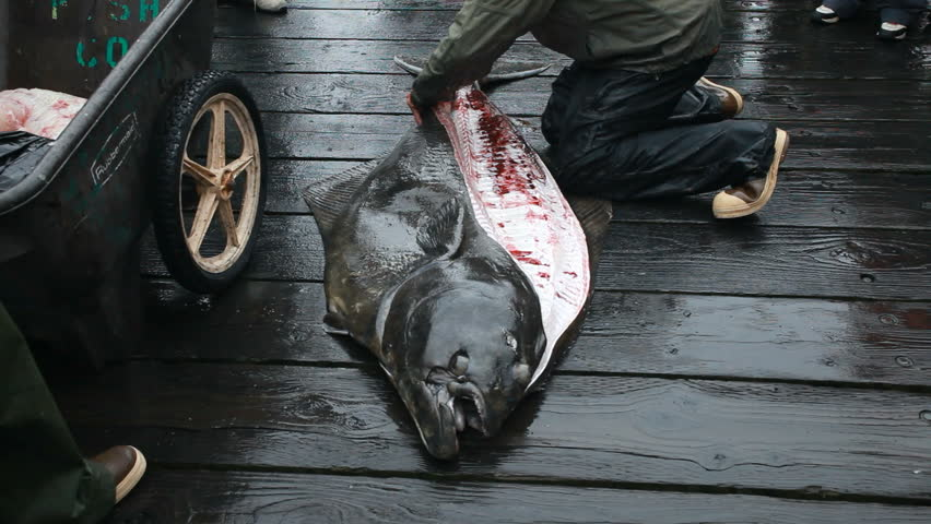 Halibut being cut, cleaned and filleted on a wooden dock or boardwalk in Seward, Alaska, Tropy size two hundred pound deep sea Halibut. Deck hand cutting fillets from sides of dead fish.