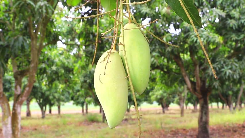 Thai Mango Fruit In Tree, Fruit Tropical Stock Footage