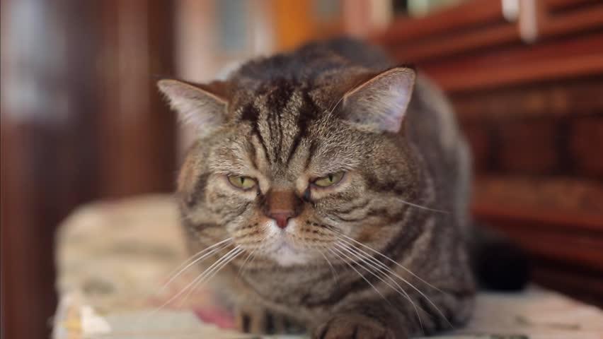 1080p video - British cat whiskas with big eyes lying on the sofa and sleep grumpy cat