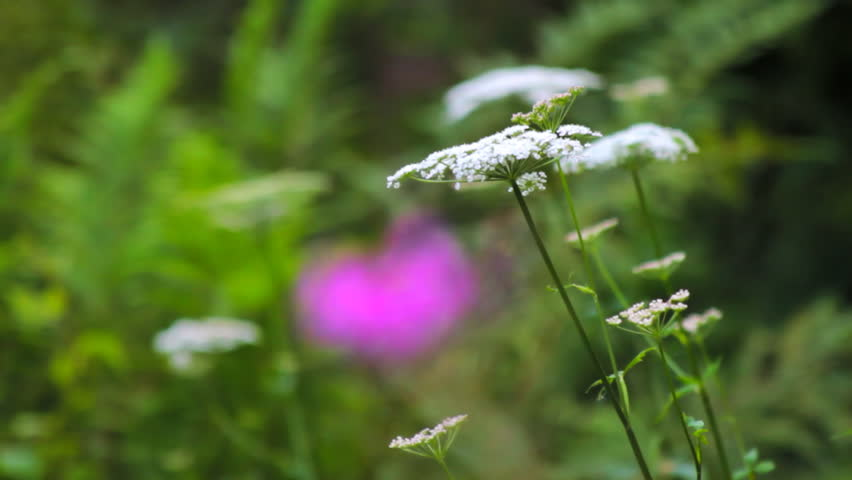 Forest plants, white yarrow in focus
