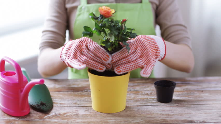 people, gardening, flower planting and profession concept - close up of woman or gardener hands planting roses to flower pot at home #9140510