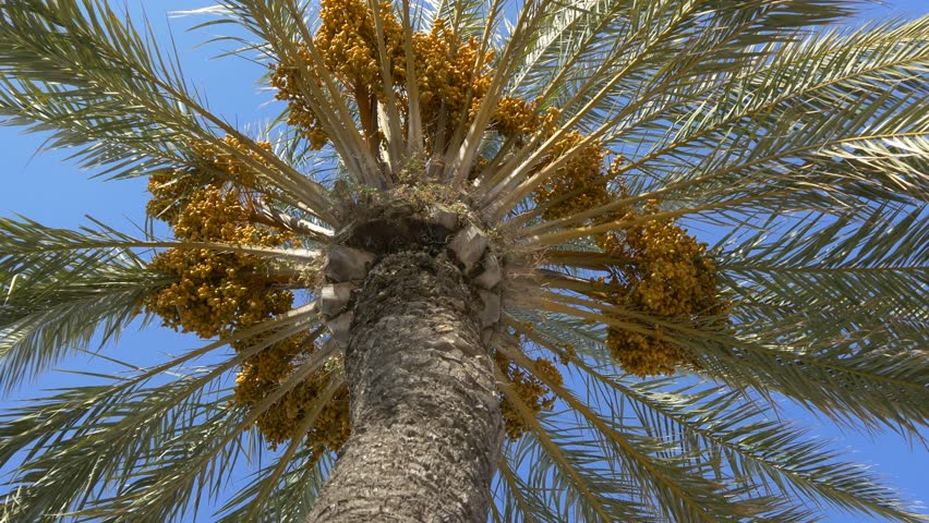 Date Palm Trees Stock Video Footage 4k And Hd Video Clips