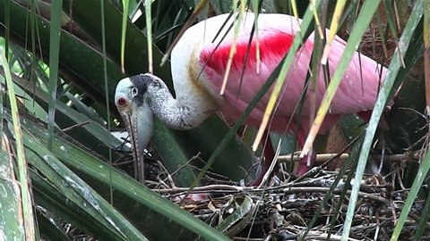 FLORIDA - CIRCA 2014 - A roseate spoonbill tends to chicks in a nest
