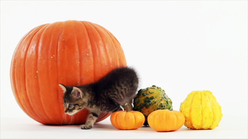 A very young kitten stands amongst some pumpkins and gourds, and then briefly scratches an itch. White backdrop
