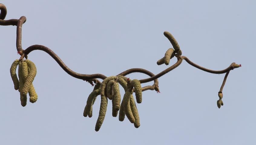 Hazel Tree Cork Bush Stock Footage Video 100 Royalty Free 9282104 Shutterstock