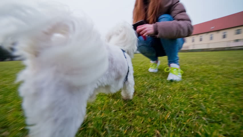 Happy cute puppy playing with female owner. Low angle wide shot of female person outdoors caressing Maltese puppy and feeding with treats.