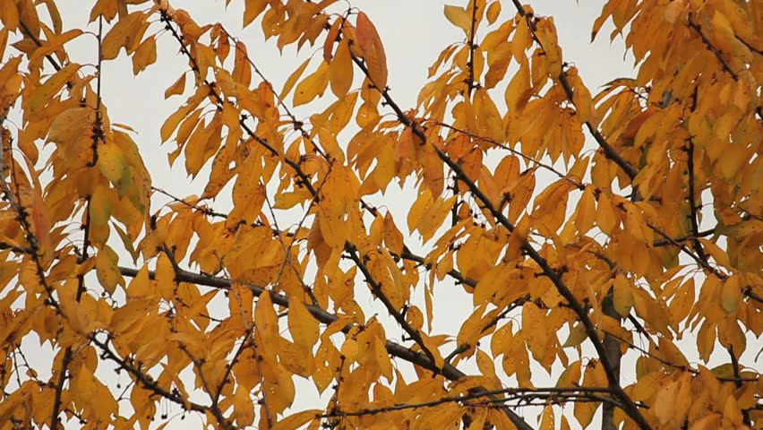 Leaves of a cherry tree moving in the autumn wind