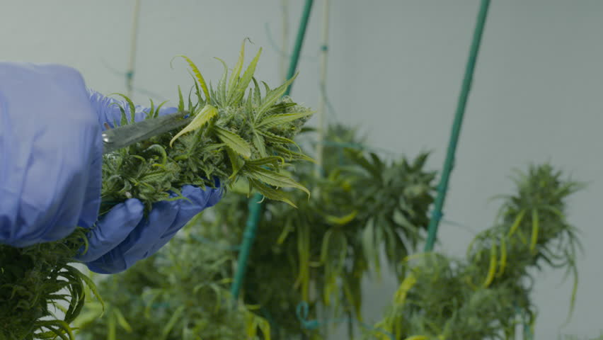 A man trimming marijuana buds in preparation for harvest