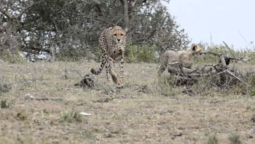 A Cheetah and her cubs move by a stump.
