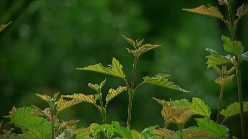Header of Acer Campestre
