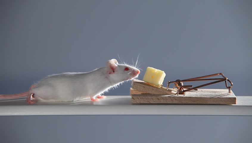 Tongue gets hit a rat mouse trap in super slow motion