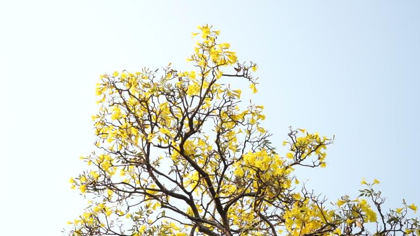 Flower Nika, Cotton Tree, Yellow Stock Footage Video (100% Royalty-free)  9420494 | Shutterstock