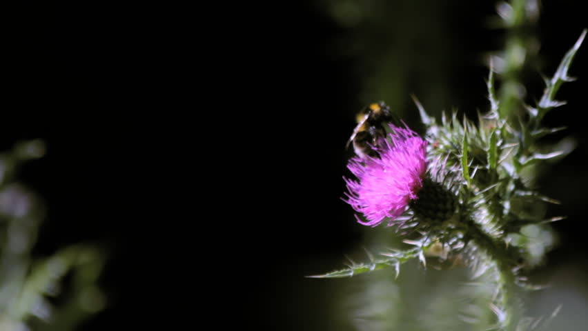 Wild honeybee pollinating thistle (Cirsium) flower
